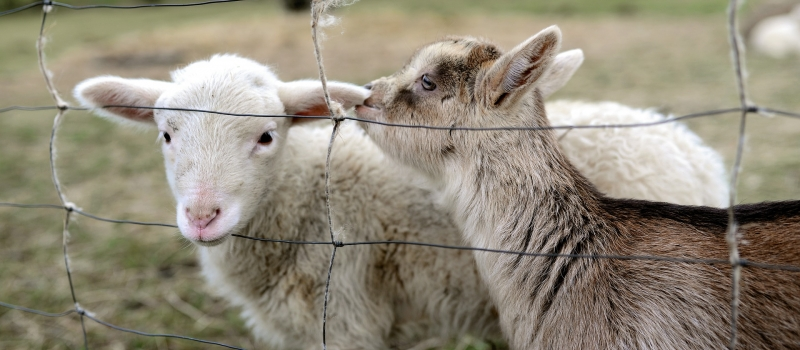 goat-4859274_1920